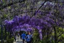 Firenze Giardino Bardini,  l'intensita' del profumo del Glicine in Fiore