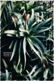Aloe; Aloe Arborescens, fiori; piante; piante grasse; mare; ambiente; aria; sole; rosso, © Giuliano Corti Fotogiornalista