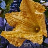 Fiore di zucca con gocce