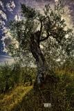 Olivi e Licheni
