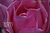 Rosa, petali