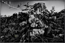 Rovi e Fiori, da Le Vacanze di Tigro