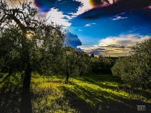 Terra Toscana, con Olivi e Cipressi